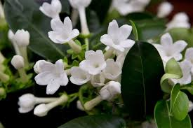 stephanotis flower stephanotis floribunda gardenersworld