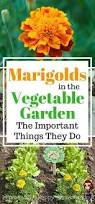 marigolds in the vegetable garden important things they do 6