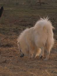 american eskimo dog brown about pomimo pomeranians flame u0027s pleasure kennelsite updated