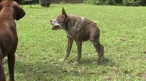 Ugliest Meet Quasimodo Runner Up In The Ugliest Dog Contest Wtvr Com