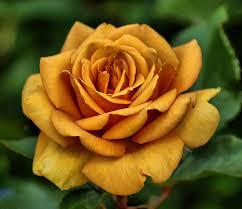 golden roses true wanderings golden