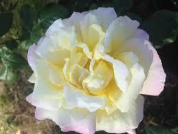 roses murgon garden centre