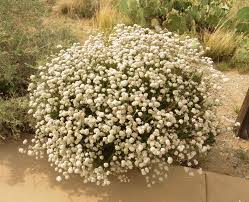 desert native plants eriogonum fasciculatum flowering white jpg