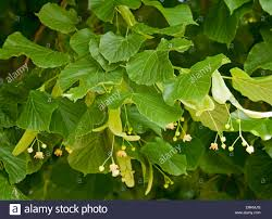 closeup view of leaves and fruit of common lime tree tilia