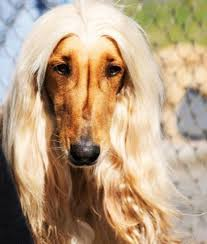 does an afghan hound shed afghan hound wooftown