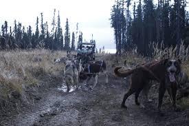 Black Spruce Dog Sleeding Picture of Black Spruce Dog Sledding