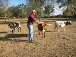 miniature texas longhorn cows at bogle farms sorrento fl cutie