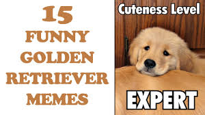 Golden Retriever Meme - 15 funny golden retriever memes lololol youtube