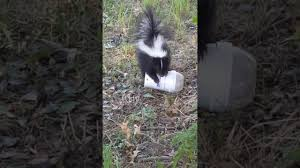 skunk removal tips for homeowners effective wildlife solutions