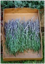 Indoor Fragrant Plants - lavender projects dried lavender herbal lavender purple