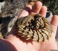 Armadillo Meme - funny armadillo lizard also know as baby dragon viral viral videos