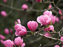 the top trees for small gardens small gardens magnolia and plum