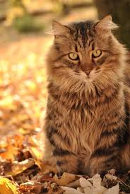 halloween cats background 222 best autumn cats images on pinterest animals cats and fall