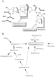Meaa by Meaa A Putative Coenzyme B12 Dependent Mutase Provides