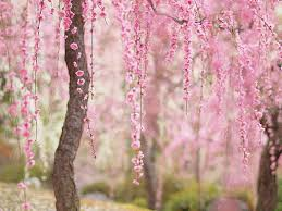Trees With Pink Flowers 11 Of The Most Beautiful Cherry Blossom Photos Ever