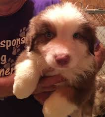 australian shepherd puppies under 500 australian shepherd breeders texas