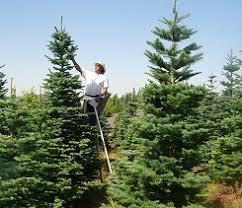a portland vancouver tradition thorntons u0027 treeland christmas tree