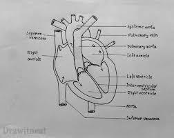 sketch of human heart u2013 cultua info