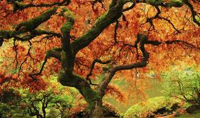 Garden Tree Types - maple trees that will give your garden an annual autumn fireworks