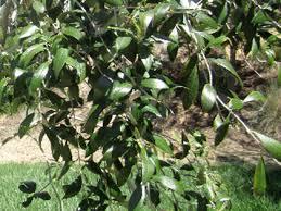 home western weeping ornamental olive tree