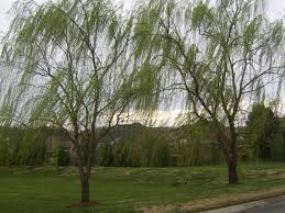 weeping willow trees find a willow tree here nashville middle tn area