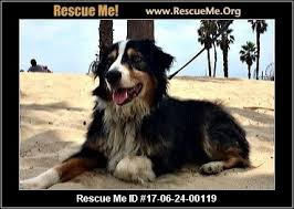 australian shepherd rescue san diego and friends california australian shepherd rescue u2015 adoptions u2015 rescueme org