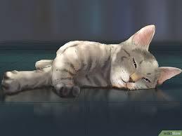 hukum memandulkan kucing cara menenangkan kucing berahi wikihow
