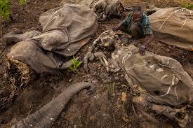 100 000 elephants killed by poachers in just three years landmark