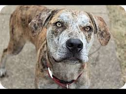 american pitbull terrier puppies louisiana kavanaugh catahoula leopard dog pit bull terrier mix with rover