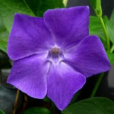 purple flower vine with purple flower unknown plant creeper vine with purple