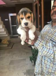 boxer dog quikr siddhartha pet house in charmwood village faridabad pets on