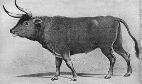 how did the humble cow evolve u0027 the history of agriculture part