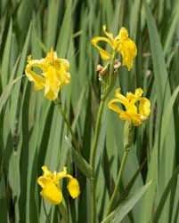 Iris Flag Iridaceae U2013 Monflora