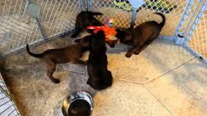 belgian malinois in ohio puppy bootcamp imprinting akc belgian malinois puppies knpv lines