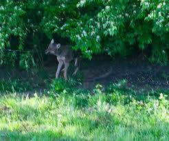 Coyote In My Backyard Knoxville Coyote Control Trapping Removal