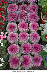 ornamental cabbages stock photos ornamental cabbages stock