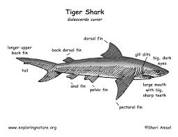 tiger teeth diagram