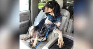 bluetick coonhound stuffed animal shelter dog strikes pose as he rides to vermont rescue the dodo