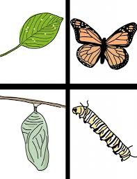 butterfly life cycle clipart clipartxtras