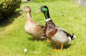 where to buy duck where to buy rouen ducks cackle hatchery efowl