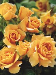 Fragrant Flowers For Garden - the most fragrant roses for your garden hgtv