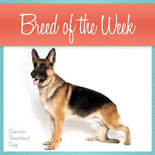 affenpinscher vs german shepherd breed of the week german shepherd dogs american kennel club