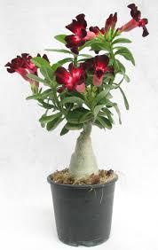 adenium plants shop for desert rose flower plants india
