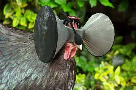 virtual reality for chickens would simulate a blissful free range