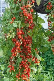 best 25 cherry tomato plant ideas on pasta sauce