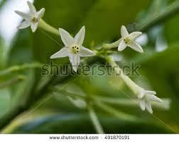 Fragrant Night Blooming Plants - night blooming jasmine stock images royalty free images u0026 vectors