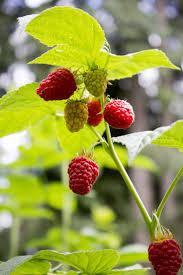best 25 raspberry plants ideas on pinterest growing raspberries