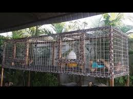 Backyard Quail Pens And Quail Housing by Building A Quail Cage And A Visit With The Birds After They Move