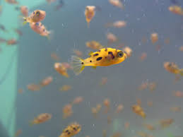 and threatened freshwater fish plundered for aquarium trade