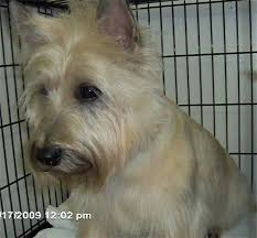 cairn terrier haircuts happy paws by lori home debary fl
